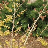 Witchhazel 'Arnold Promise'