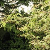 Ukigumo Japanese Maple
