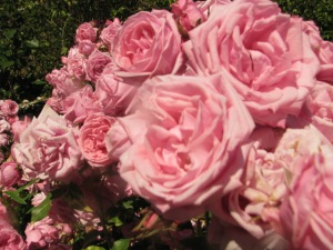 Gene Boerner Floribunda Rose