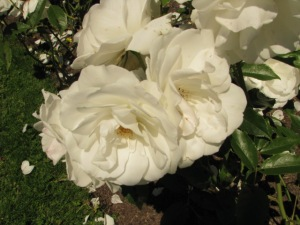 Iceberg Floribunda Rose