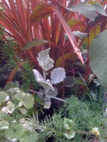 Flax and Dusty Miller