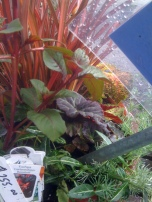 Gartenmeister Fuchsia and Euonymous