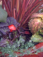Begonia, Parrots Beak and Coleus
