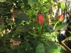 Buds and Foliage