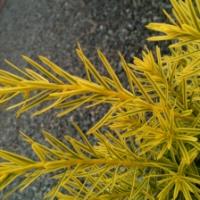 Dwarf Bright Gold Yew
