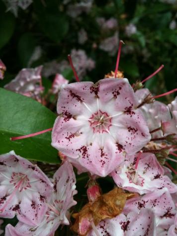 Kalmia Flower