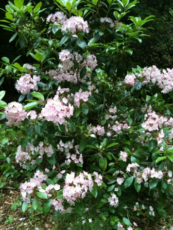 Kalmia at the Arboretum