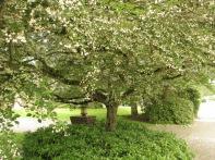 Snowbell Tree