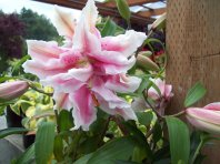 Roselily 'Double star'