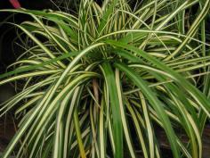 Carex morrowii 'aureo variegata'