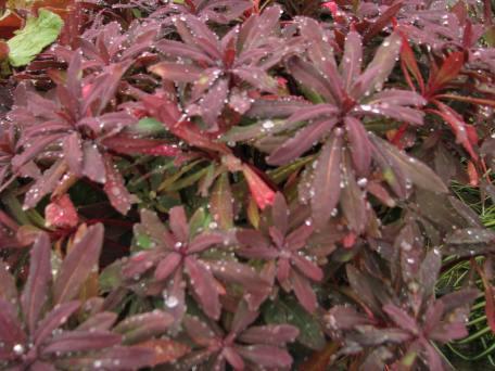 Euphorbia 'Ruby glow'