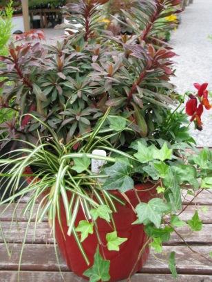 Euphorbia, sedge and ivy