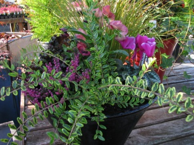 Sedge, lonicera, cyclamen and pansy