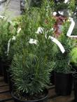 Taxus baccata 'Beanpole'