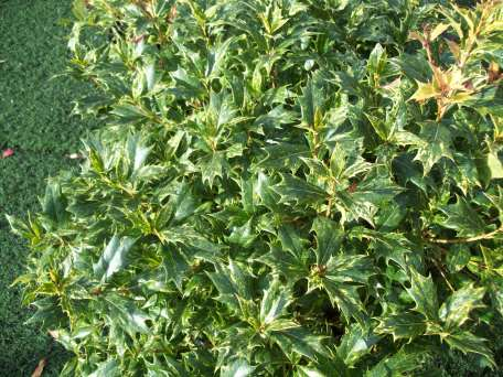 Variegated false holly