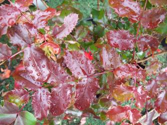 Oregon Grape gone red