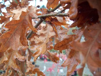 Crunchy oak leaves