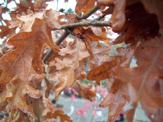 Crunchy oak leaves