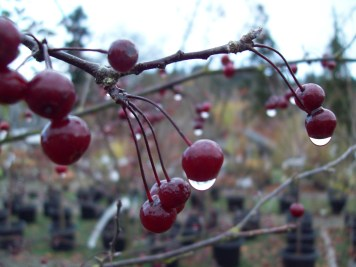 Crabapple dripping with fruit