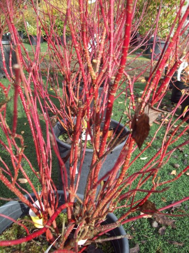 Red-twig dogwood