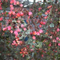 Adirondack Crabapple in Winter