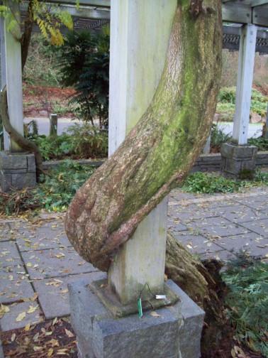 Giant Wisteria Vine at the Arboretum