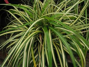 Variegated Sedge
