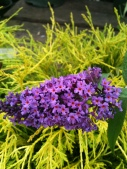 Butterfly Bush and Cypress
