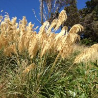 Pampas Grass: A Tale of Two Seasons