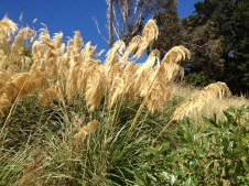 New Zealand Pampas Grass