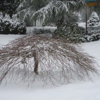 Japanese Maples...Winsome in Winter