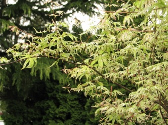 Japanese Maple Ukigumo