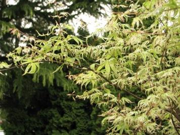 Japanese Maple Ukigumo
