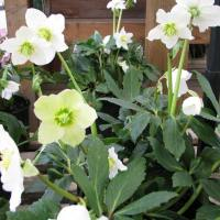Hellebores: Summer Color on a Winter Day