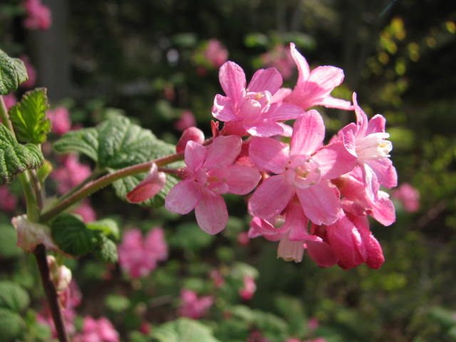 Red flowering currant rainyleaf rosy pink flower clusters mightylinksfo