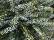Silberlocke Korean Fir