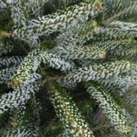 Korean Fir 'Silberlocke'