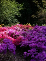 Rhododendrons, a wave of color