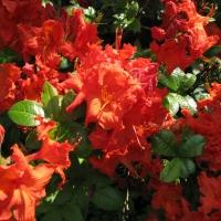 May Azaleas at the Arboretum
