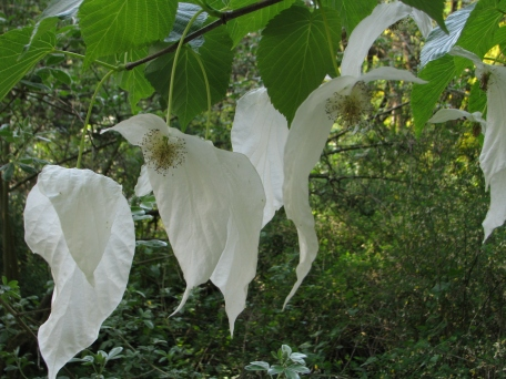 The Dove Tree