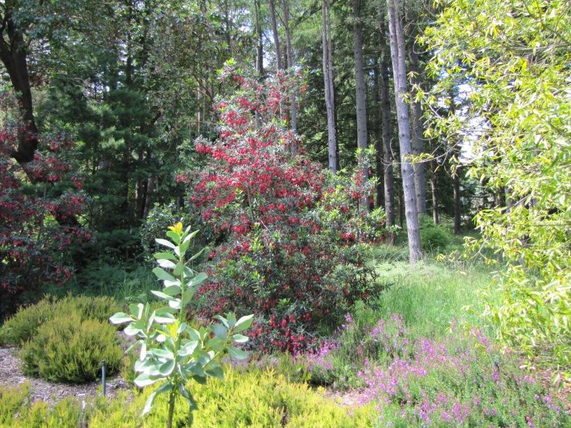 Crinodendron Hookerianum Rainyleaf