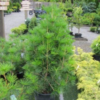 Umbrella Pine Tree