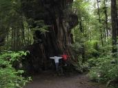 Western Red Cedar....So Big!