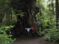Western Red Cedar....So Big!