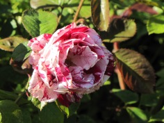 Scentimental Floribunda