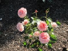 Tournament of Roses Grandiflora