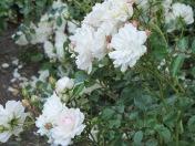Seafoam Landscape Rose