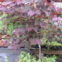 The Redbud Tree