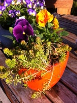 Pansies and Sedum