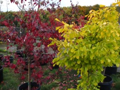 Persian Ironwood and Ginkgo Tree